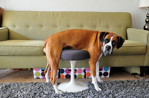 cats-and-dogs-losing-the-battle-with-human-furniture-1