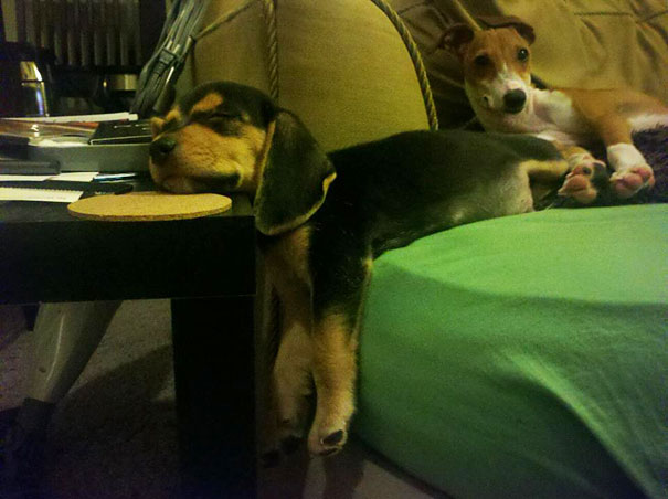cats-and-dogs-losing-the-battle-with-human-furniture-14