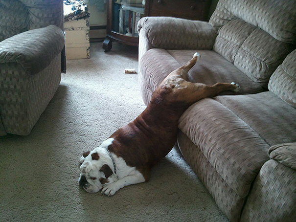 cats-and-dogs-losing-the-battle-with-human-furniture-18