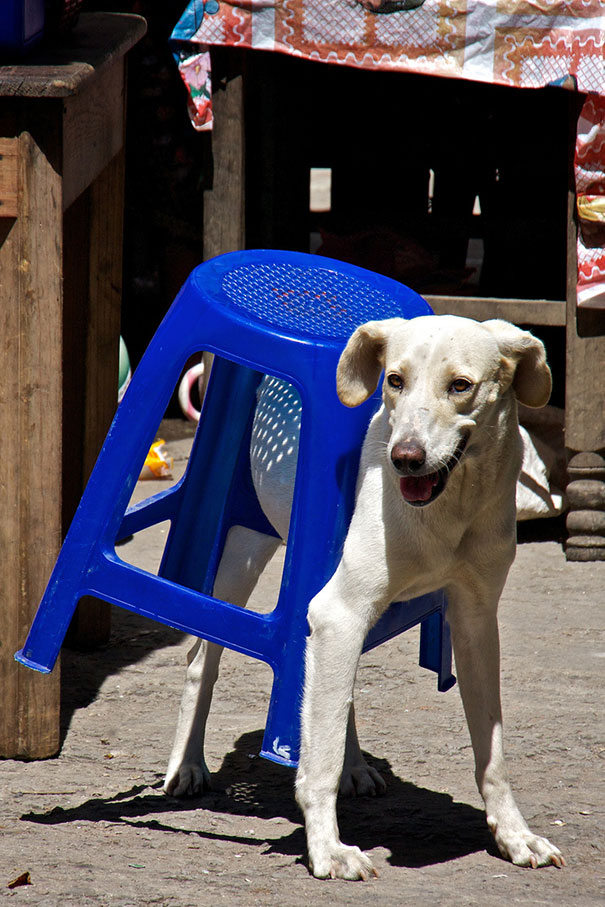 cats-and-dogs-losing-the-battle-with-human-furniture-25