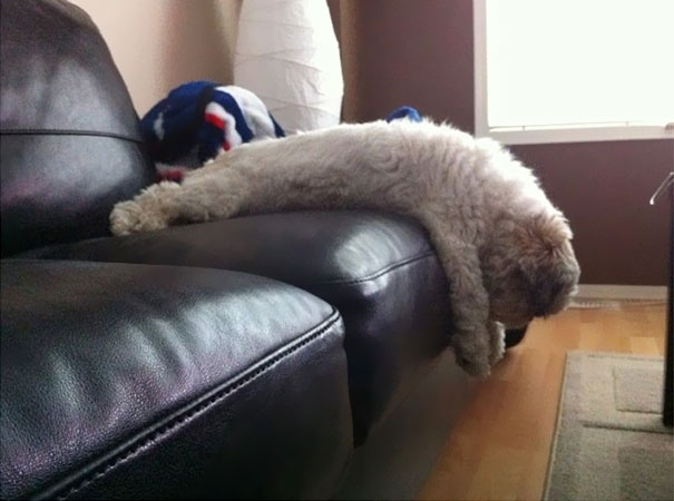 cats-and-dogs-losing-the-battle-with-human-furniture-30